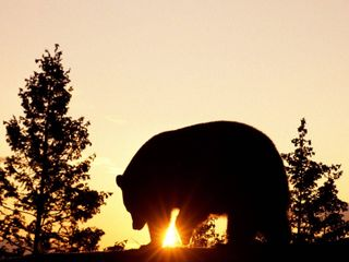 Black_Bear_at_Sunrise