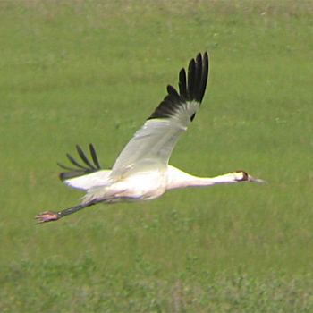 Whooping-crane-texas-2008